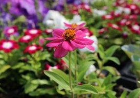 A pink flower with colorful flowers blurry behind